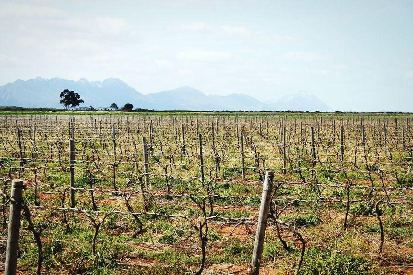 Miles Of Vineyards ~ Barbed Wire Fencing Vines Vineyards  Farmland Mountain Range South Africa Grapes Winery Cape Province Skyline Agriculture Field Farm Growth Sky Crop  Rural Scene Nature Landscape Beauty In Nature Scenics Cloud - Sky