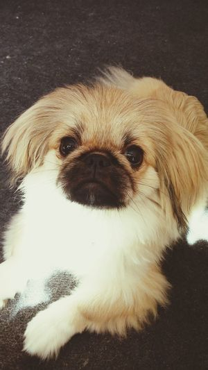 I Love My Dog Pekingese