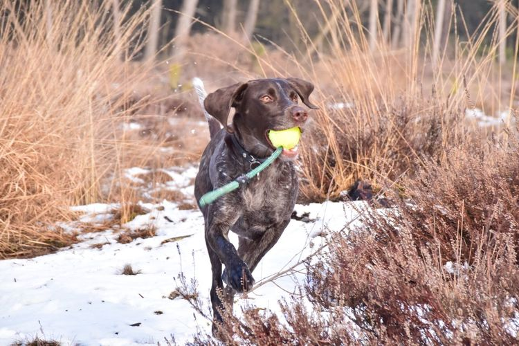 ACTIVE! I Love My Dog Dog Gsp Animal Themes Outdoors Field Carrying In Mouth Catch The Ball Active Having Fun Running Enjoying Life My Bestfriend My Girl Nikon