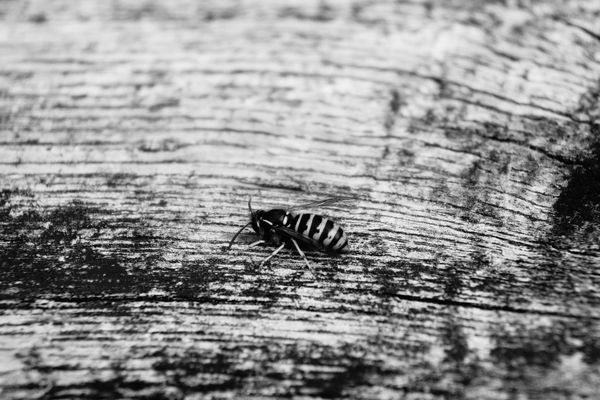 Bee 🐝 Black And White Bees Macro Photography