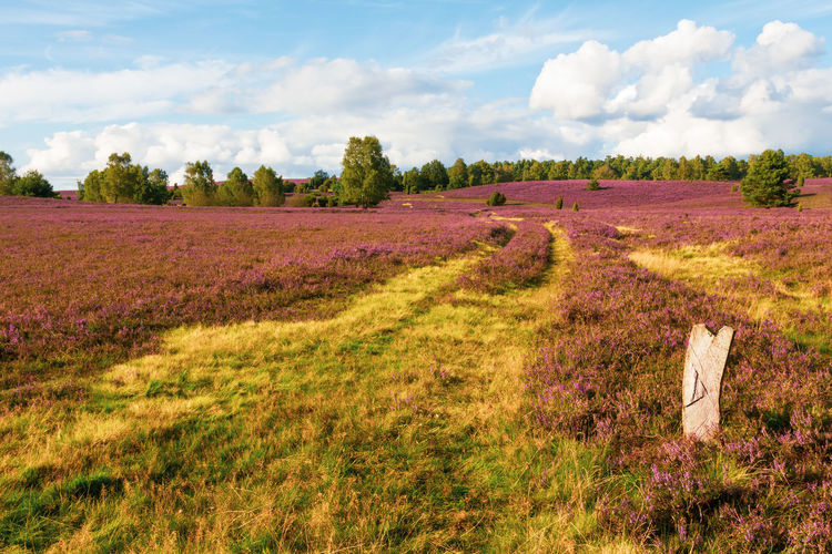 Heath blossom in the nature park (nature reserve) Lüneburg Heath, Northern Germany. Heath Heather Blossom Nature Park  Nature Reserve Lüneburger Heide Panoramic View Purple Violet Colorful Blue Sky White Cloud - Sky Sunlight Bright Hiking Trails Tranquil Scene Tranquility Beauty In Nature No People Non-urban Scene Vacations Travel Destinations Tourism Destination Trees