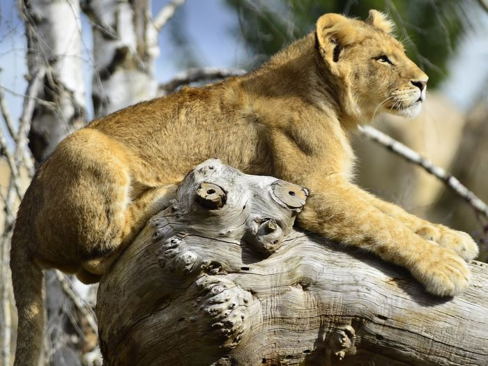 Close-up of lioness on log
