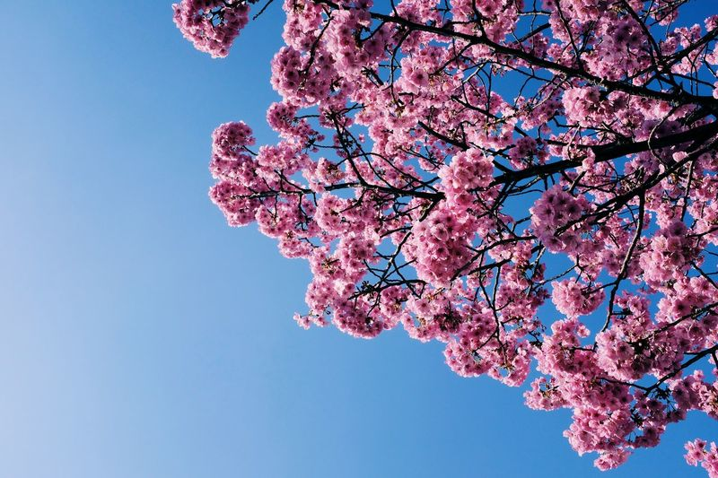 Pink Color Flower Blossom Flowering Plant Beauty In Nature Fragility Tree Branch Vulnerability  Springtime Plant Cherry Blossom Growth Sky Nature Cherry Tree Freshness Low Angle View No People Day Outdoors Flower Head Spring Plum Blossom Sakura Sakura Blossom Hanami Japan