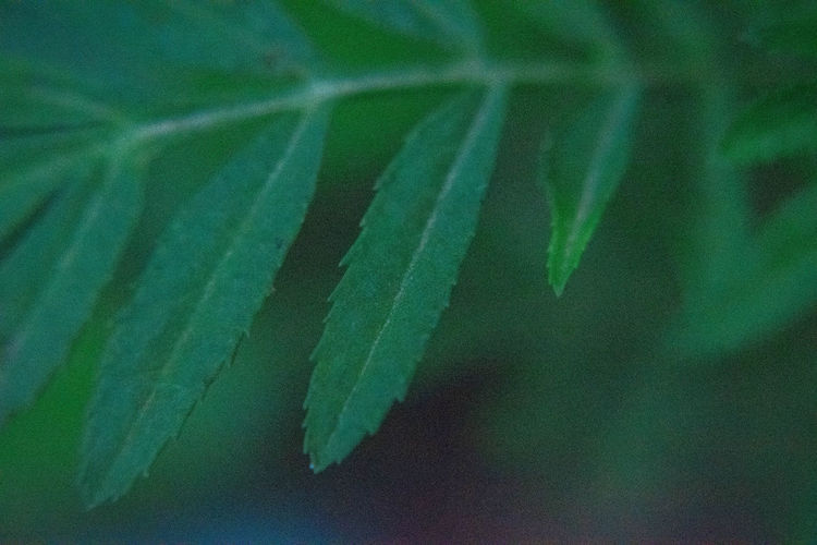 Leaves Leaf Plant Part Growth Plant Close-up Beauty In Nature Green Color Nature No People Selective Focus Day Focus On Foreground Fragility Vulnerability  Tranquility Outdoors Botany Leaf Vein Freshness Extreme Close-up Leaves Soft Focus Focus