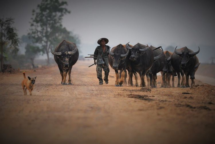 Man walking with herd of buffaloes on field