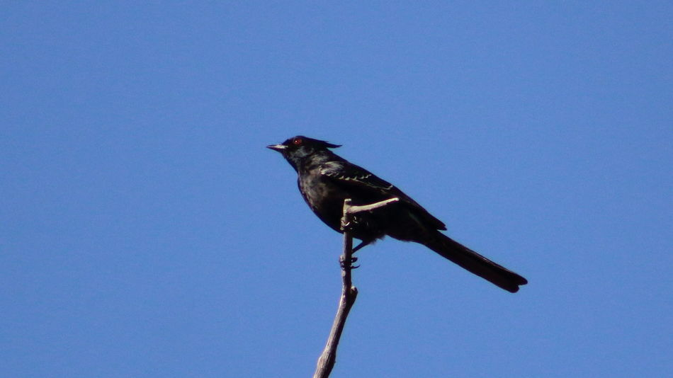 Male phainopepla hanging on for dear life in high winds. Animal Animal Themes Animals In The Wild Bird Blue Branch Clear Sky Copy Space Day EyeEm Nature Lover Full Length Low Angle View Nature No People One Animal Outdoors Perched Perching Phainopepla Side View Wildlife Zoology