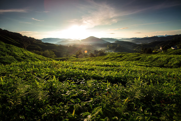 View of tea plantation Agriculture Beauty In Nature Cameron Highlands Day Field Freshness Green Color Growth Landscape Mountain Nature No People Outdoors Plant Rural Scene Scenics Sky Sunlight Sunset Tea Crop Tea Plantation  Tranquil Scene Tranquility