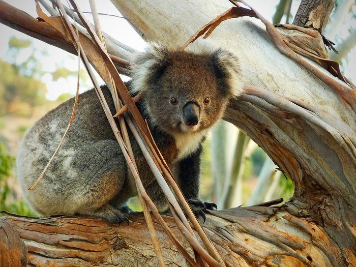 Portrait of koala on branch