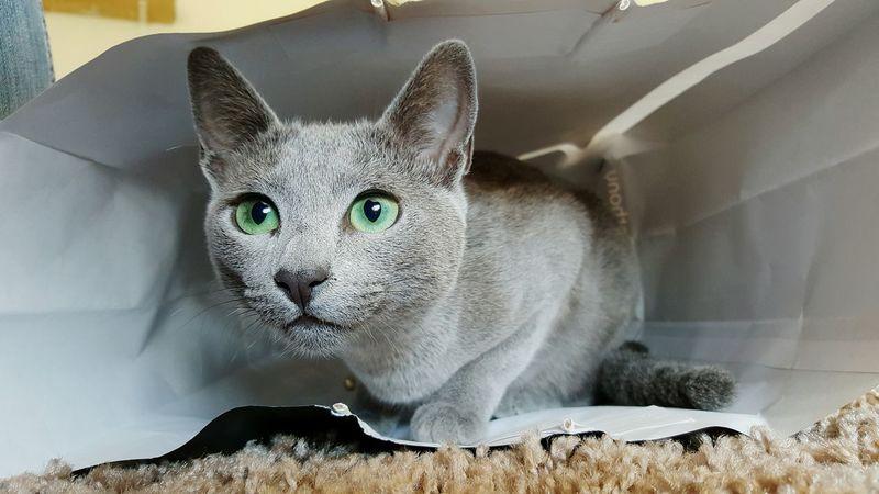 Leeloo 😍 Leeloo RussianBlue Russianbluecat Catsofinstagram Catoftheday Kitty Cats Of EyeEm Cat Eyes The Week On EyeEm