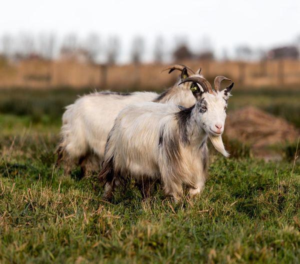 Goat on field