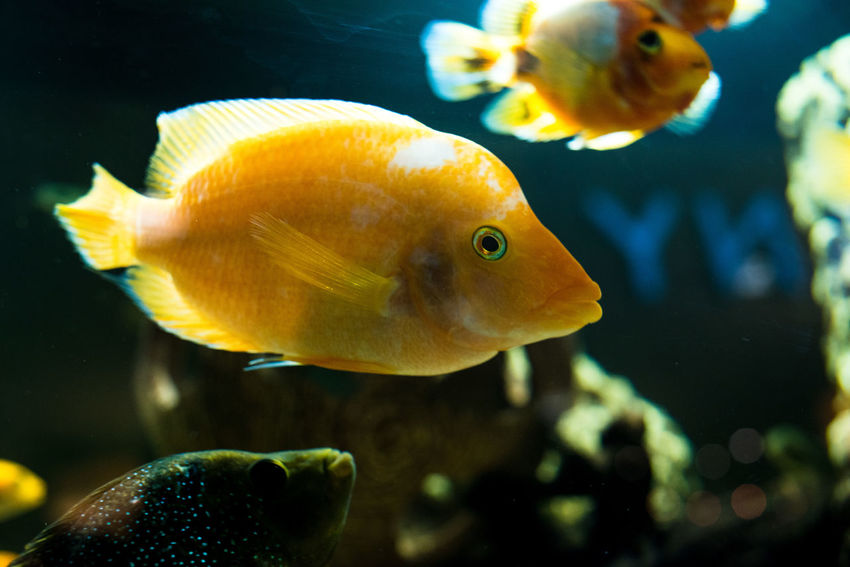 Animals In The Wild Nature Swimming UnderSea Acquarium Animal Themes Animal Wildlife Blue Close-up Clown Fish Fin - Fish Part Fish Gold Fish Indoors  One Animal Sea Life Underwater Water Yellow