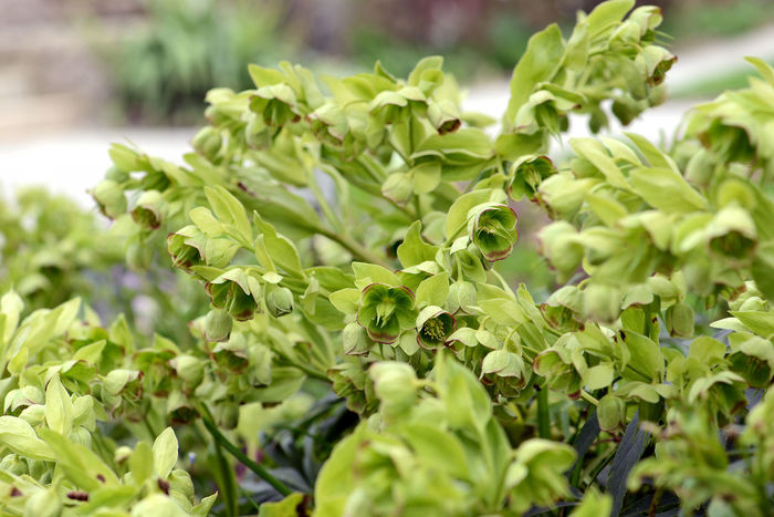 Hellebourus foetidus blossom in springtime at a garden Hellebores Hellebores Are Out Helleborus Helleborus Orientalis Helleborus Foetidus Helleborus Niger Close-up Growth Hellebore Leaf Nature Outdoors Plant