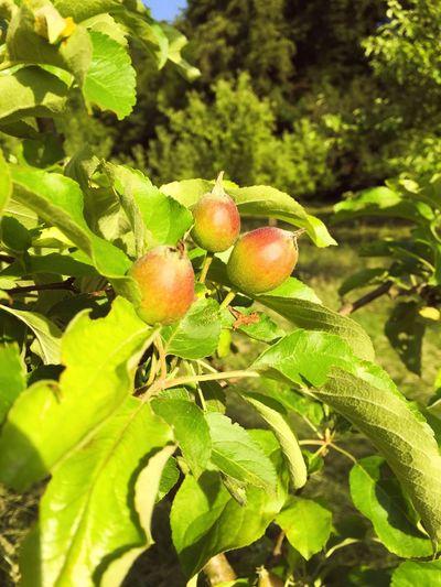Kleine Äpfel am