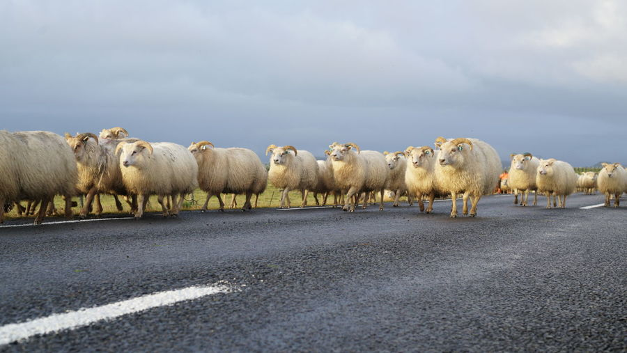 Sheep walking on the road in Iceland Iceland Road Animal Themes Beauty In Nature Cloud - Sky Day Domestic Animals Flock Of Sheep Large Group Of Animals Livestock Mammal Migrate Nature No People Outdoors Road Sheep Sky Togetherness