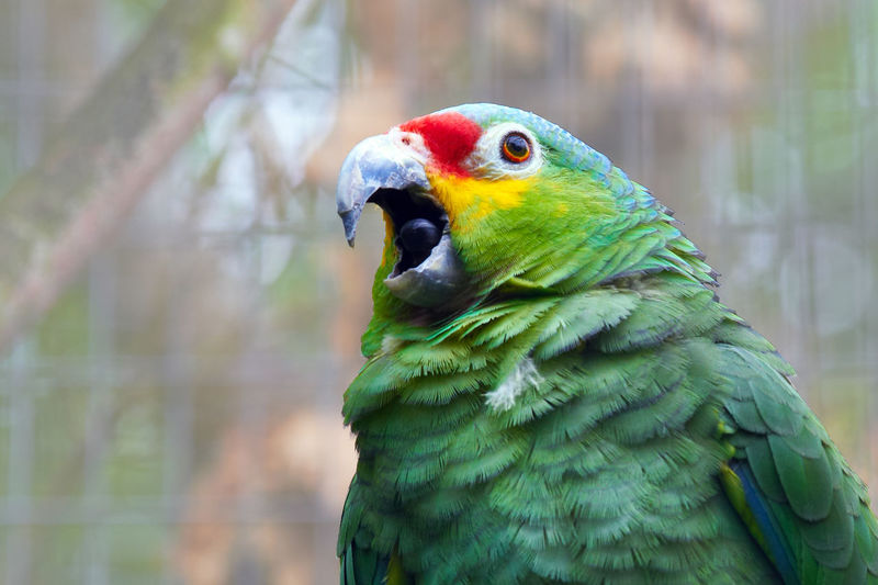 Blue fronted