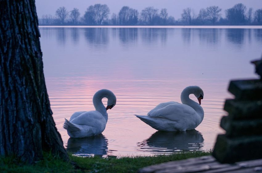 EyeEm Selects Lake Animals In The Wild Animal Themes Water Animal Wildlife Swan Nature No People Reflection Outdoors Day Beauty In Nature Swimming Tree Togetherness Mantova