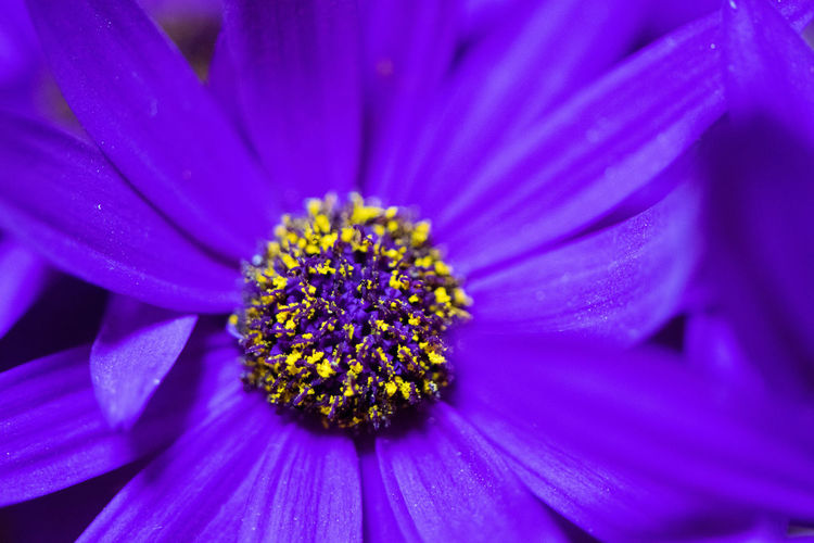 The bright yellow pollen of a single Senetti flower boldly contrasts with the deep purple colour of its petals. Backgrounds Beauty In Nature Blooming Blossom Botany Close-up Detail Extreme Close-up Flower Flower Head Fragility Freshness Full Frame Growth In Bloom Macro Nature No People Petal Pink Color Plant Pollen Purple Selective Focus Stamen