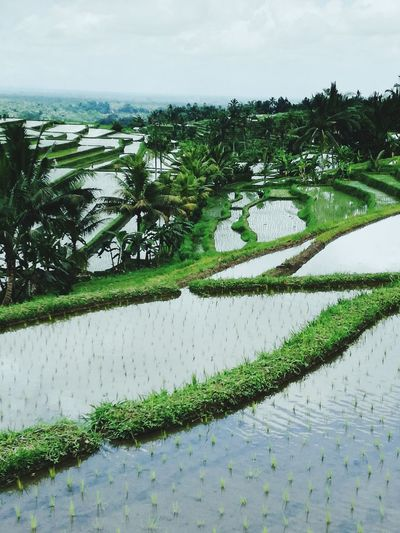Jatiluwih Jatiluwih Rice Terrace Green Color Rice Terraces Indonesia_photography Ubud, Bali