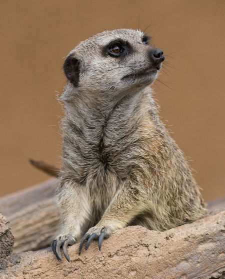 """Aug 2018 - """"This is my good side"""" Animal Portrait Animal Wildlife Close-up Day Focus On Foreground Looking Looking Away Mammal Meerkat Nature No People One Animal Outdoors Sitting Solid Vertebrate Whisker Wood - Material"""