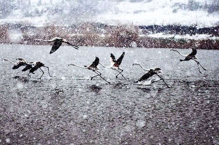 İsmail Balı © 2016. Kocaeli Turkey Kar yağışı devam ederken, flamingo ailesi evlerine dönmek için havalanıyor. Türkiye'nin nadir bölgelerinde görülen bu kuş türü, küçük su canlıları ile besleniyor. vücutlarındaki kırmızı renk ise keratinden kaynaklanıyor. belgesel çalışmalarımıza devam ettiğimiz gölde, 24 adet flamingo yaşıyor. Daha fazlası için web sitemizi ziyaret edebilirsiniz. While the snowfall, flamingos taking off his family to return to their homes. Rare bird species seen in this part of Turkey is fed by small water creatures. The red color of the body caused by keratin. we continued our work in documentary lake, 24 live flamingos. You can visit our website for more. www.ismailbali.net Moment An O_an Oan Animals Flamingo Rare Lake Snow Winter Popularpic Grafimx Instanimal Documantary Izmit Natgeo Nature Natural Original Wild Wildlife City Bendenbirkare gununkaresi photooftheday nikon @natgeoturkiye @natgeowild @natgeoexplorer @natgeoanimal @natgeoyourshot @atlas_dergisi @suhaderbent ✌📷🎥❄
