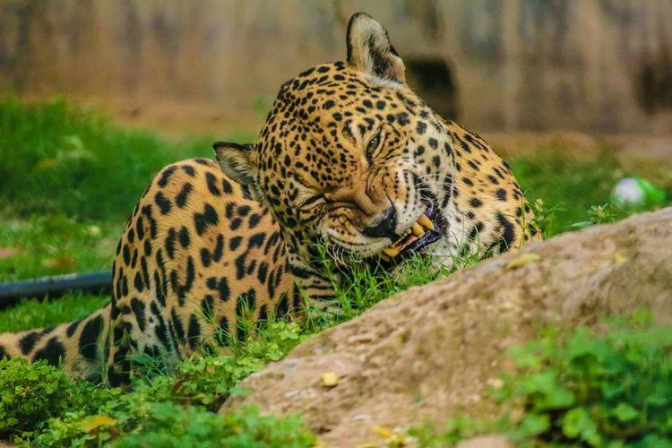 Cheetah Wildlife Photography Cheetah Leopard Animals Nature