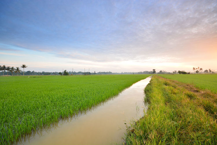 Scenic View Of Rice Paddy Against Cloudy Sky During Sunrise