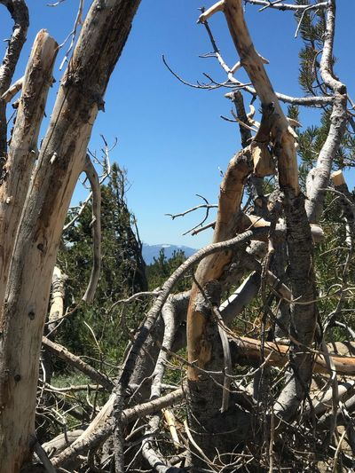 Tahoe unfiltered...... Plant Tree Sky Low Angle View Nature Growth No People Day Clear Sky Branch Trunk Tree Trunk Outdoors Tranquility Sunlight Beauty In Nature Plant Part Land Cactus Blue