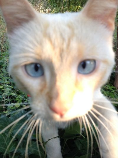 Cat Blue Eyes White Cute Squinting Nature_collection