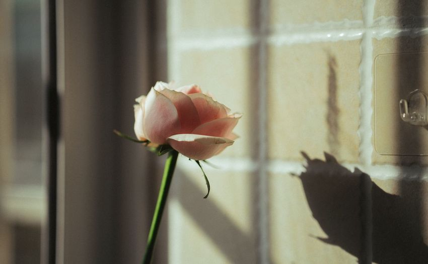 Close-up of rose against wall