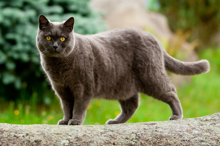 British British Cat Animal Animal Themes British Shorthair Cat Cat In Garden Cat Outdoors Cat Outside Domestic Animals Domestic Cat Feline Garden Gray Grey Large Cat Looking At Camera No People One Animal Pet Pet Cat Pets Shorthair Standing Yellow Eyes
