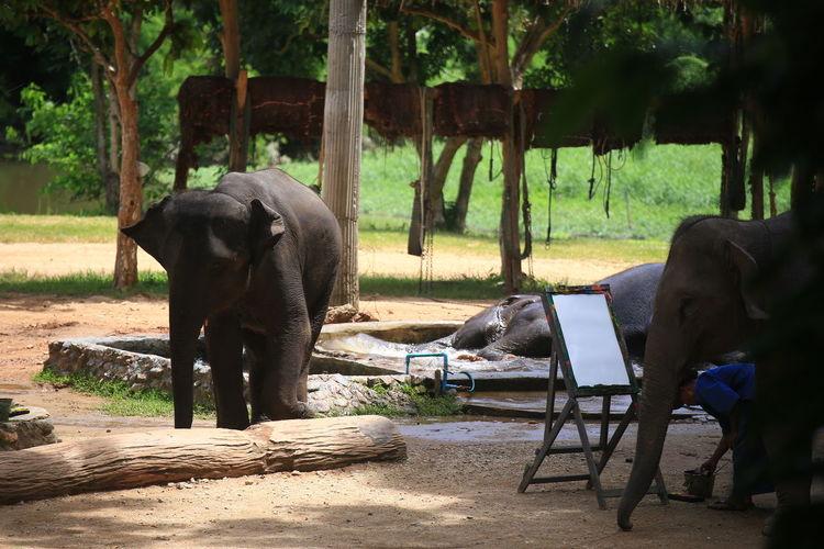 Elephants In Zoo