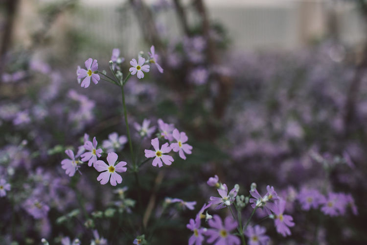 Flower Flowering Plant Fragility Vulnerability  Beauty In Nature Freshness Growth Plant No People Petal Close-up Focus On Foreground Selective Focus Nature Day Flower Head Outdoors Inflorescence Field Land Purple Small Springtime Decadence