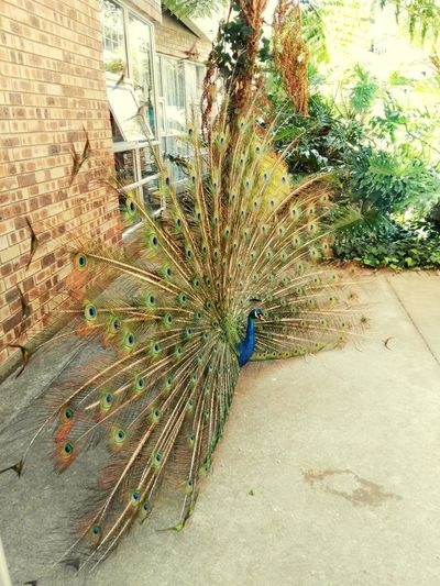Peacock Art Fanned Out Day