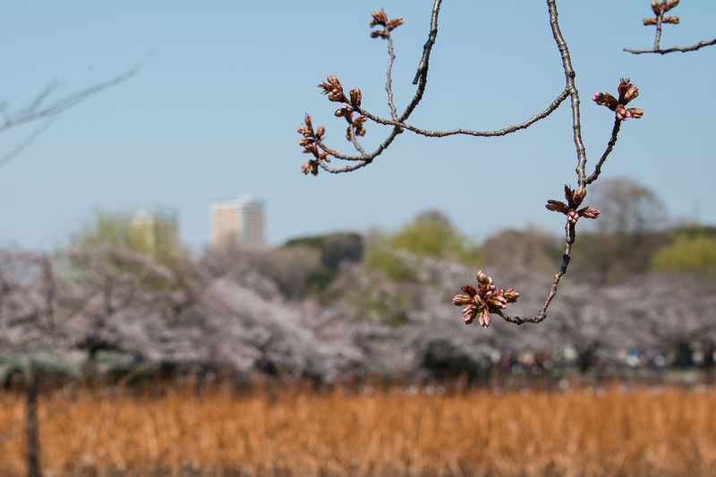 Breath Of Life I Will Bloom From Now! Japan Spring Japan Sprouts 上野公園 新芽 春