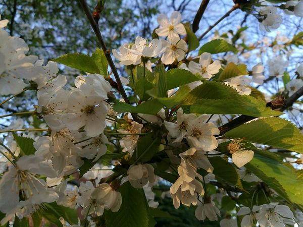 Evening Sunlight Sun On A Flower Early Evening Light Springtime Late Afternoon Light Spring Evening Evening Glow Evening Sun Evening Light Naturelovers Spring Flowers P9 Huawei Beauty On My Doorstep Spring Street Tree Photography Nature Beauty In Nature Outdoors Flower Close-up Tree Evening Blossom April Evening Blossoms