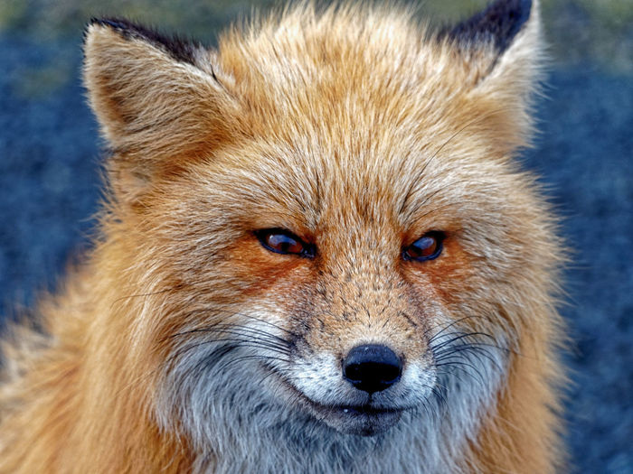 Red fox, South