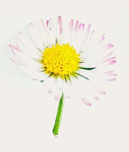 Daisy Daisy Flower Pure Fragile Studio Shot Petal Fragility Flower Head Freshness Beauty In Nature Nature No People Close-up White Background Flowers