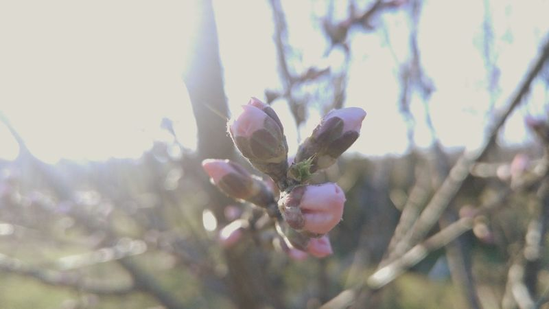 Easter Ready Budding Tree Blooming Pear Blossom New Life Flower Nature Photography Floral Natural Garden Garden Photography Plant Garden Nature Fresh Spring Bloom Outdoors Springtime Pink Spring Flowers Beautiful Nature Fwjphotos Tree Lgg4photography Pivotal Ideas
