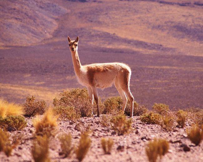 Alpaca standing on field