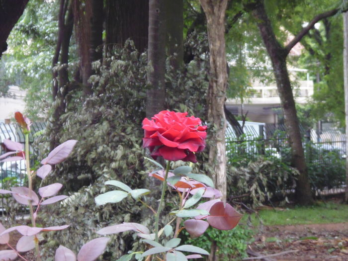 Red Rose at the Parque da Luz Rose Garden in downtown São Paulo Daytime Nature Parque Da Luz Parque Da Luz Rose Garden Red Roses Susan A. Case Sabir Unretouched Photography Beauty In Nature Blooming Flamboyant Red Flower Head Flower Photography Fragility Blooming Freshness Of Flower Green Rose Leaves Nail Polish Red Petals Of Roses Pretty Flower Pretty Rose  Red Rose Rose - Flower Rose Garden Sensuous Red Sultry Red Variation Of Red Color