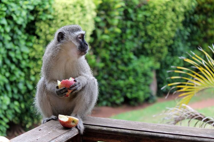 Monkey eating apple Animal Themes Animal Wildlife Animals In The Wild Day Eating Food Monkey Eating Apple Nature No People One Animal Outdoors Sitting