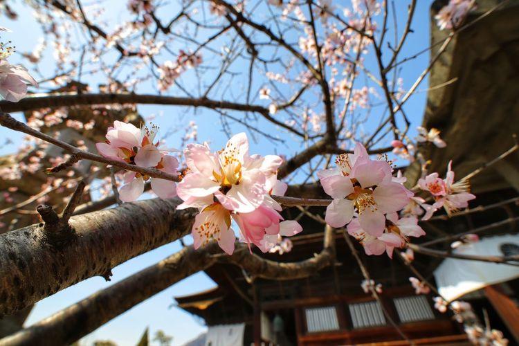 春が来たー😆(梅だけど) 中華レンズ Wide Macro 善光寺 (zenko-ji Temple) Flower Head Tree Flower Branch Springtime Clear Sky Plum Blossom Pink Color Blossom Petal