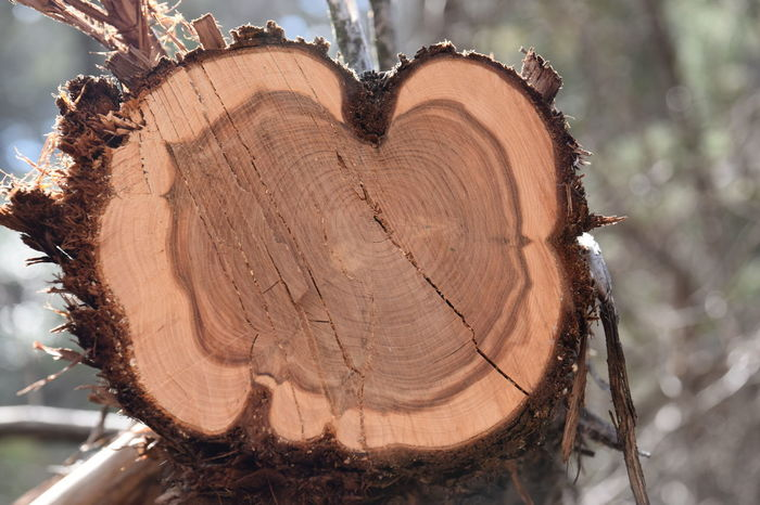 Cedar Close-up Cross Section Day Deforestation Forest Log Lumber Industry Nature No People Outdoors Textured  Timber Tree Tree Ring Tree Stump Tree Trunk Wood - Material
