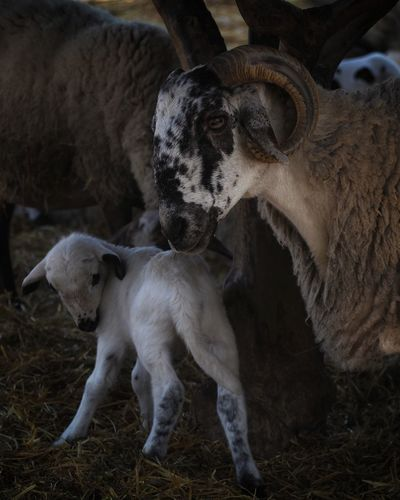 Agriculture Cow Rural Scene Cattle Close-up Livestock Taurus Lioness Orion Nebula Female Animal Domestic Cattle Wind Instrument Bull - Animal Cat Family Lion Cub Big Cat Animals Mating American Bison Roaring Lion - Feline Mallard Duck Calf Infant Ranch Horned Livestock Tag Moms & Dads