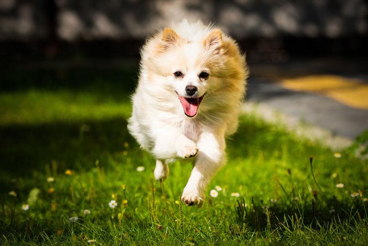 White pomeranian dog running on field