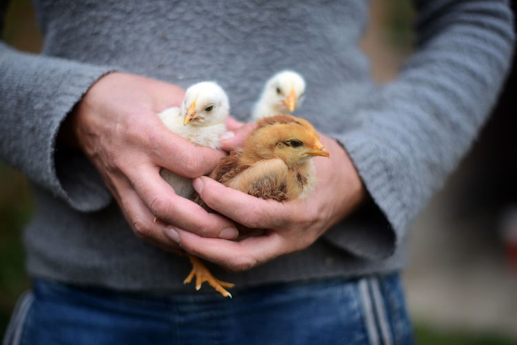 Midsection of woman holding baby chicken in hand