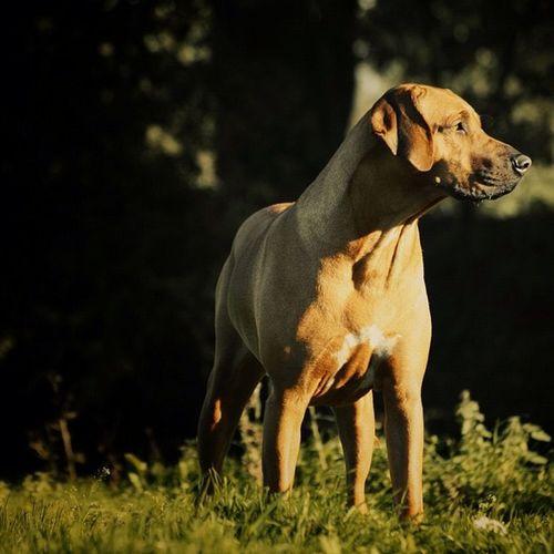 LillyDog :) #lilly #rhodesian #ridgeback #african #lion #hound Hound Ridgeback African Rhodesian Lion Lilly
