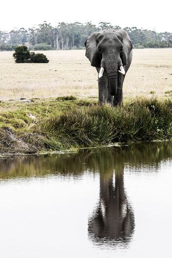 Mammal Animal One Animal Animal Themes Plant Water Elephant Day Nature Reflection No People Waterfront Herbivorous Animal Wildlife Outdoors Safari Safari Animals