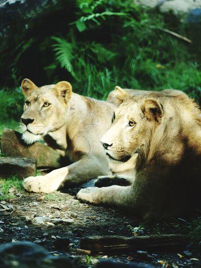 The Lion King, Bali Zoo