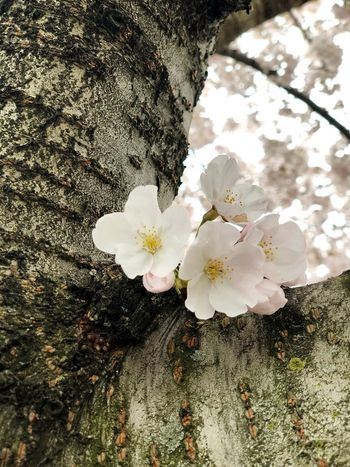 Cherry blossom Plant Flower Flowering Plant Growth Beauty In Nature Vulnerability  Fragility Inflorescence Springtime Petal Blossom Freshness Nature Day Tree Flower Head No People Sunlight Close-up Outdoors